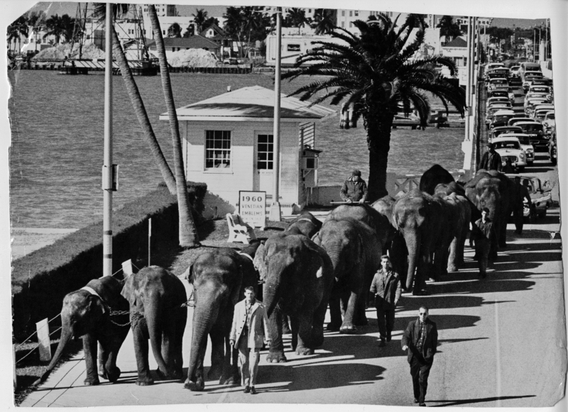Circus elephants cross the Venetian Causeway west drawbridge, with under-construction Herald building in background.
