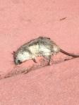 Belle Isle rat